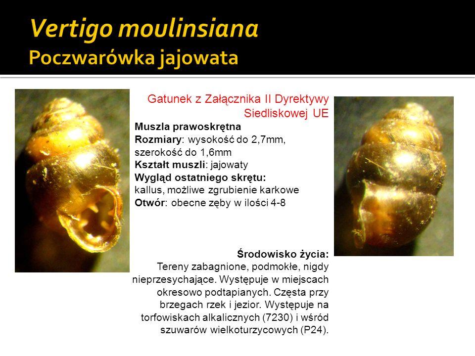 Gatunek z Załącznika II Dyrektywy Siedliskowej UE Muszla prawoskrętna Rozmiary: wysokość do 2,7mm, szerokość do 1,6mm Kształt muszli: jajowaty Wygląd