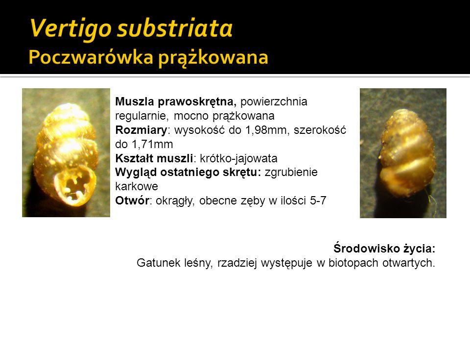 Gatunek z Załącznika II Dyrektywy Siedliskowej UE Muszla lewoskrętna, lekko prążkowana Rozmiary: wysokość do 1,9mm, szerokość do 1mm Kształt muszli: jajowata, zwężona z obu końców Wygląd ostatniego skrętu: rynienkowate zaklęśnięcie Otwór: sercowaty, obecne zęby w ilości 4-5 Środowisko życia: Gatunek higrofilny i kalcyfilny, spotykany głównie w dolinach rzek, młakach (siedliskach 7230).