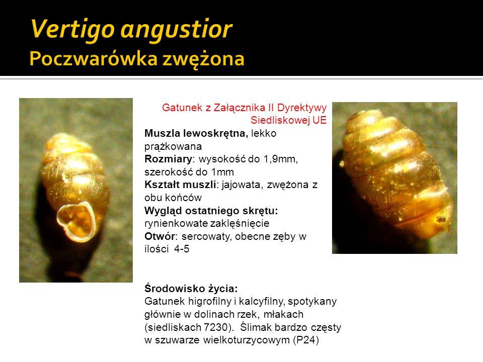 Gatunek z Załącznika II Dyrektywy Siedliskowej UE Muszla lewoskrętna, lekko prążkowana Rozmiary: wysokość do 1,9mm, szerokość do 1mm Kształt muszli: j