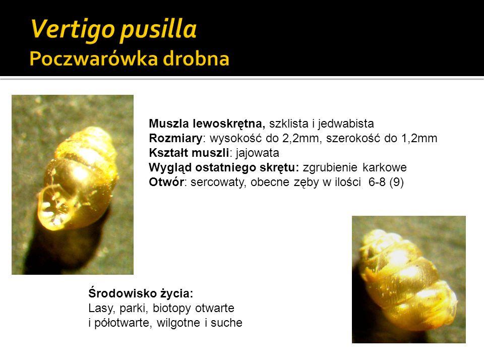 Muszla lewoskrętna, szklista i jedwabista Rozmiary: wysokość do 2,2mm, szerokość do 1,2mm Kształt muszli: jajowata Wygląd ostatniego skrętu: zgrubieni