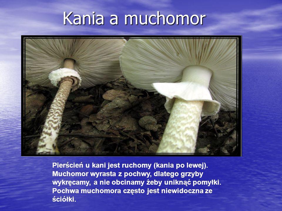 Kania a muchomor Kania a muchomor Pierścień u kani jest ruchomy (kania po lewej).