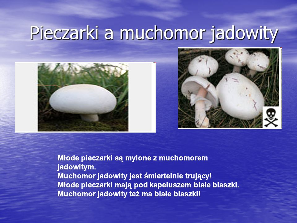 Pieczarki a muchomor jadowity Pieczarki a muchomor jadowity Młode pieczarki są mylone z muchomorem jadowitym.