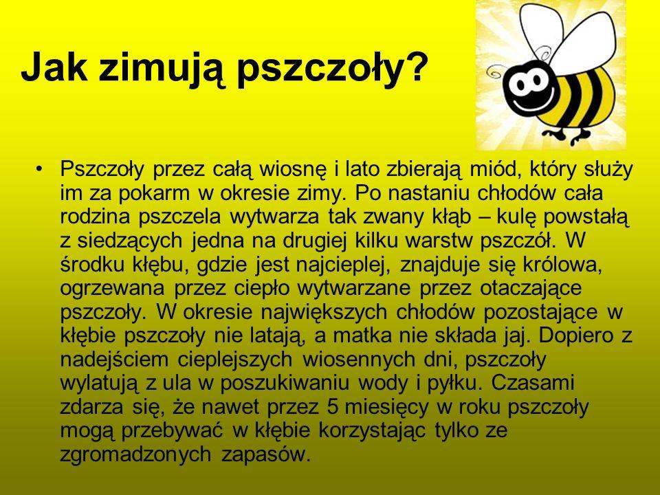 Jak zimują pszczoły? Pszczoły przez całą wiosnę i lato zbierają miód, który służy im za pokarm w okresie zimy. Po nastaniu chłodów cała rodzina pszcze