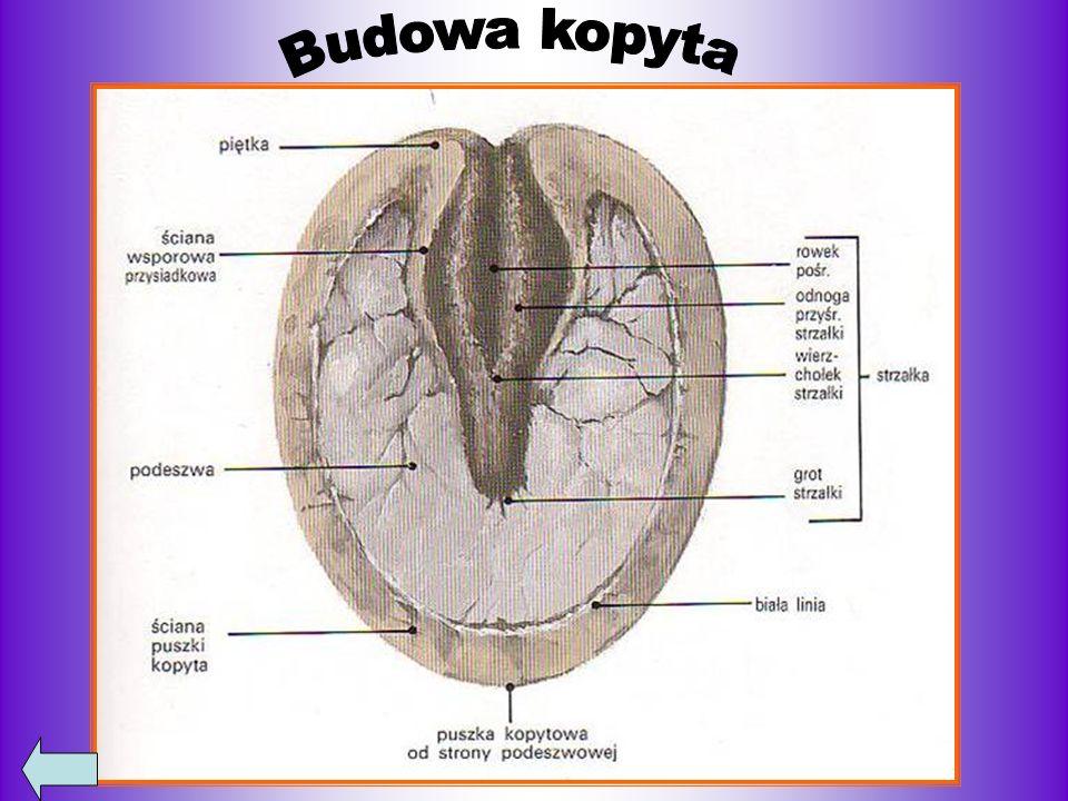 Bibliografia http://pl.wikipedia.org/wiki/Ko%C5%84 http://www.konie.olmar.poznan.pl/konie_goracokrwiste.html http://xhutnikowax.blog.onet.pl/KOnie-na-wesolo,2,ID322211587,n http://twojezwierzaki.org/artykul/146/chody-konia/ http://konie-my-life.blog.onet.pl/Rozwiazanie-testu-Drugi-etap- K,2,ID258593428,n http://www.akademiajezdziecka.za.pl/index.php?id=123&id2=101 http://by-my-koniczki.blog.onet.pl/ http://www.terazgry.pl/index.php?p5736,500-el-kon-w-galopie-castor http://galopemprzezzycie.blogspot.com/2010/10/stworzenie-konia-przekaz-proroka.html http://konieikurki.blox.pl/2010/01/Od-Stepu-do-Cwalu-Kon-w-stepie-z-jezdzcem-na.html http://konie-zwierzaki.bloog.pl/id,1223967,title,cHODY-KONIA,index.html http://zlotepodkowy.blogspot.com/2011/06/budowa-konia.html
