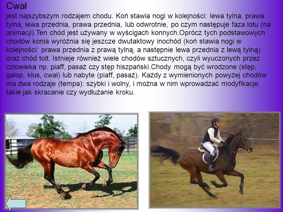 Cwał jest najszybszym rodzajem chodu. Koń stawia nogi w kolejności: lewa tylna, prawa tylna, lewa przednia, prawa przednia, lub odwrotnie, po czym nas