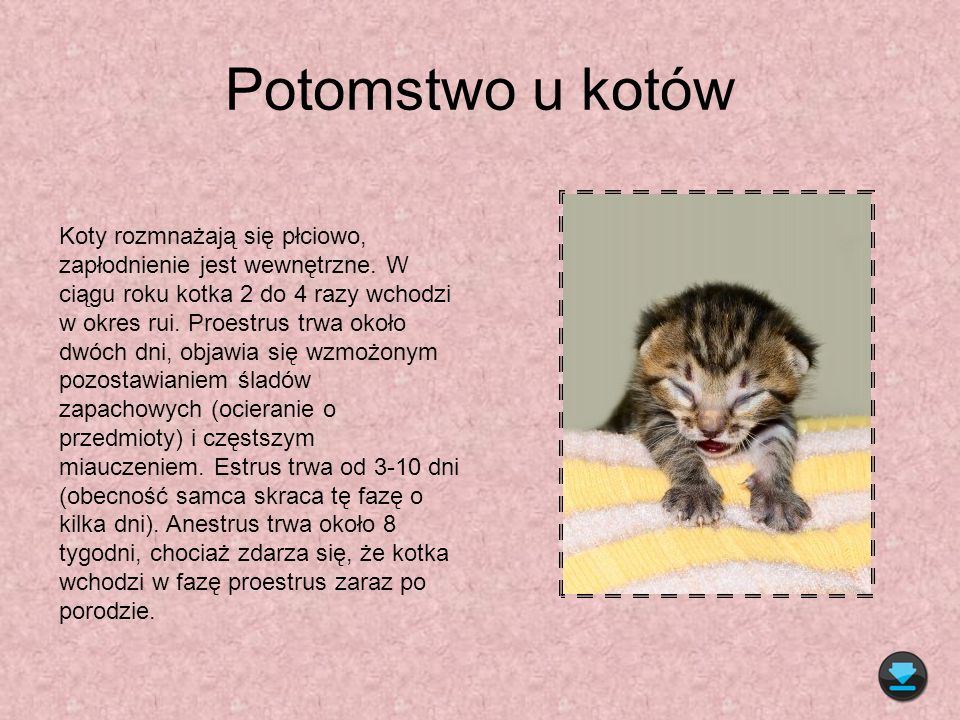 Potomstwo u kotów Koty rozmnażają się płciowo, zapłodnienie jest wewnętrzne. W ciągu roku kotka 2 do 4 razy wchodzi w okres rui. Proestrus trwa około