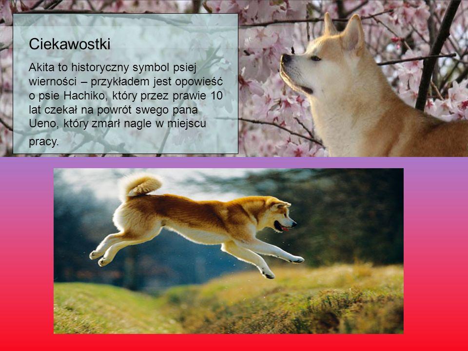 Ciekawostki Akita to historyczny symbol psiej wierności – przykładem jest opowieść o psie Hachiko, który przez prawie 10 lat czekał na powrót swego pa