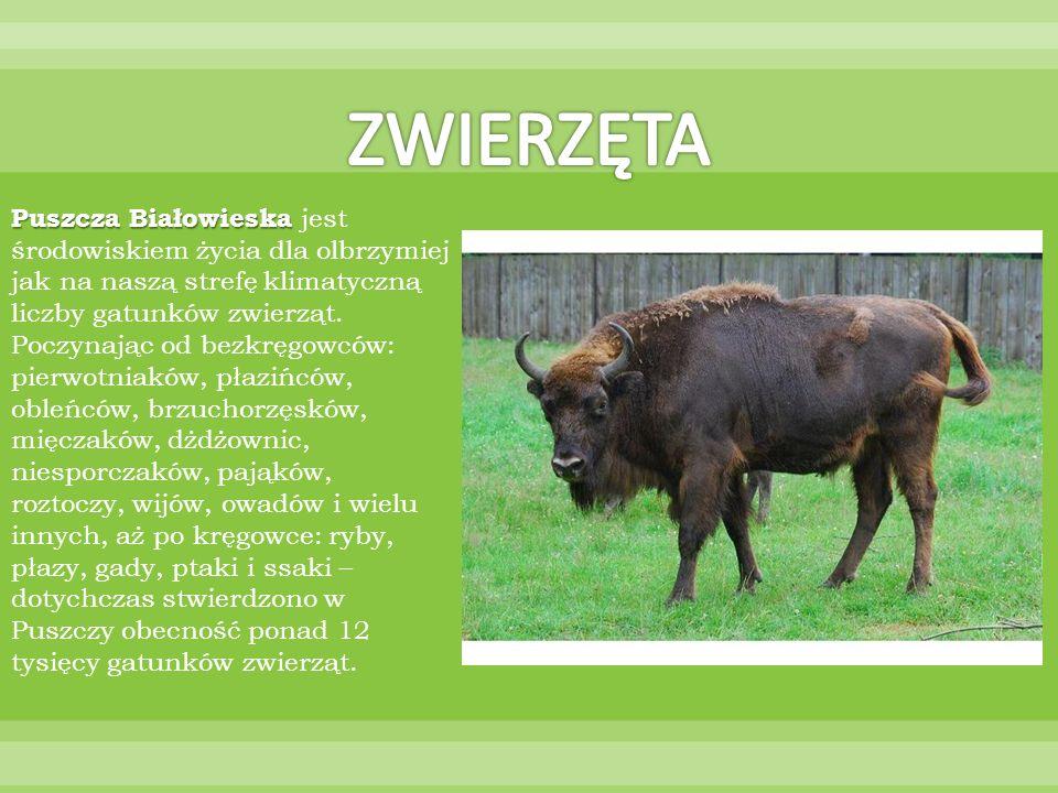 Puszcza Białowieska Puszcza Białowieska jest środowiskiem życia dla olbrzymiej jak na naszą strefę klimatyczną liczby gatunków zwierząt. Poczynając od