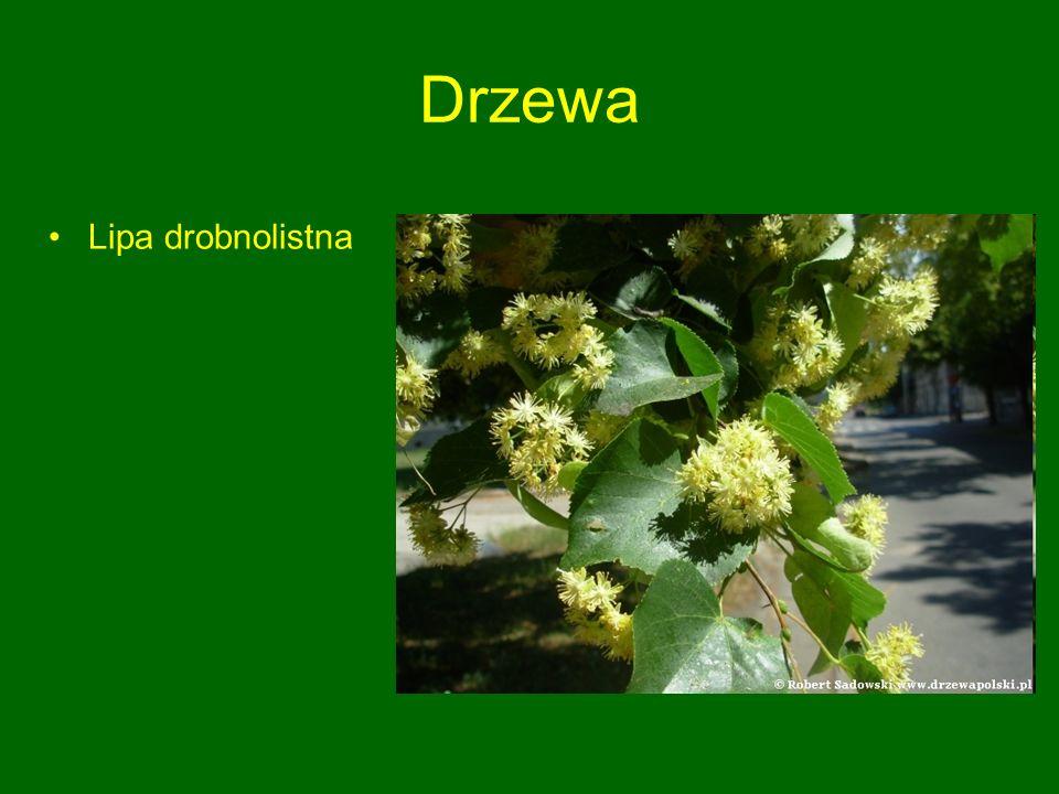 Drzewa Lipa drobnolistna