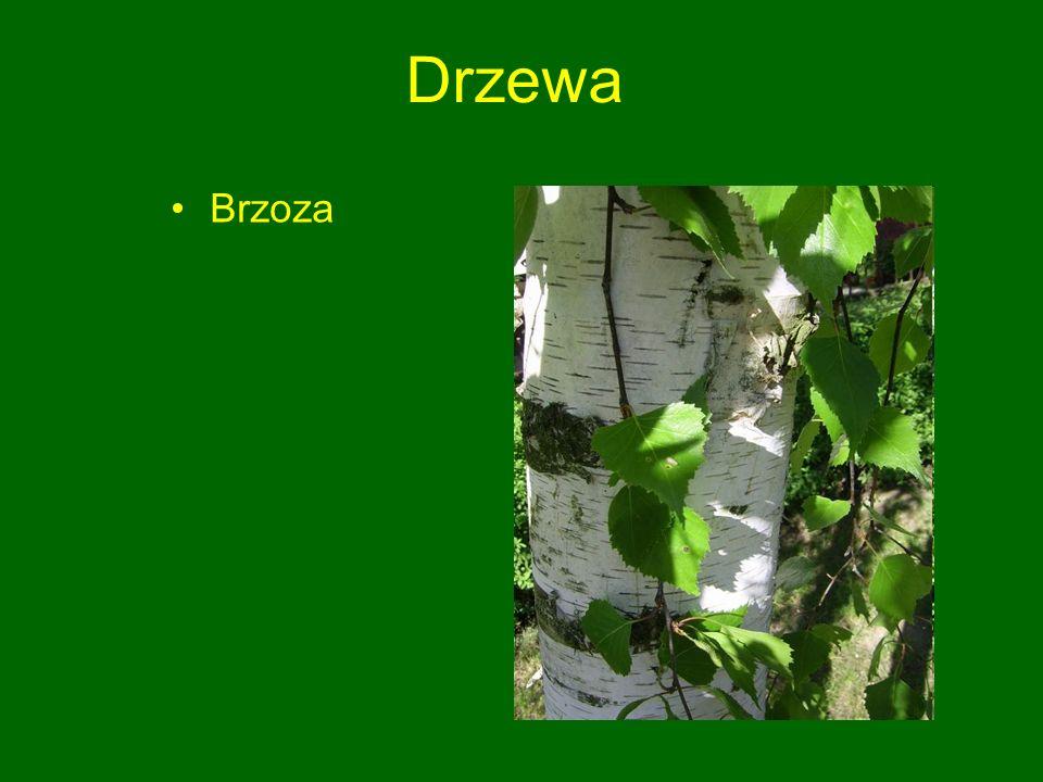 Drzewa Brzoza