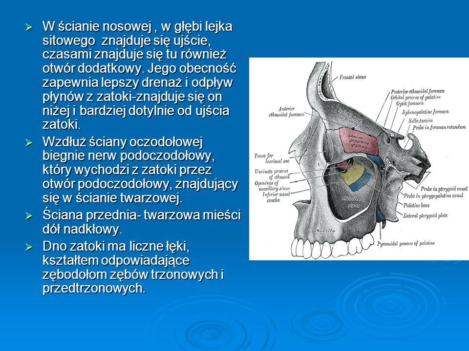 Zachyłki zatoki: zachyłek czołowy zachyłek czołowy zachyłek podniebienny górny zachyłek podniebienny górny zachyłek podniebienny dolny zachyłek podniebienny dolny zachyłek zębodołowy zachyłek zębodołowy zachyłek jarzmowy zachyłek jarzmowy Zaopatrzenie w krew: tętnice nosowe tylne łączące się z odgałęziami tętnicy podoczodołowej tętnice nosowe tylne łączące się z odgałęziami tętnicy podoczodołowej krew żylna z zatok spływa do żył nosa krew żylna z zatok spływa do żył nosa chłonka z zatok spływa do węzłów chłonnych podżuchwowych głębokich szyi chłonka z zatok spływa do węzłów chłonnych podżuchwowych głębokich szyi Unerwienie zatoki odgałęzienia nerwu podoczodołowego odgałęzienia nerwu podoczodołowego gałęzie zębodołowe górne gałęzie zębodołowe górne gałęzie biegnące ze zwoju skrzydłowo-podniebiennego gałęzie biegnące ze zwoju skrzydłowo-podniebiennego gałęzie odchodzące od nerwu sitowego przedniego gałęzie odchodzące od nerwu sitowego przedniego