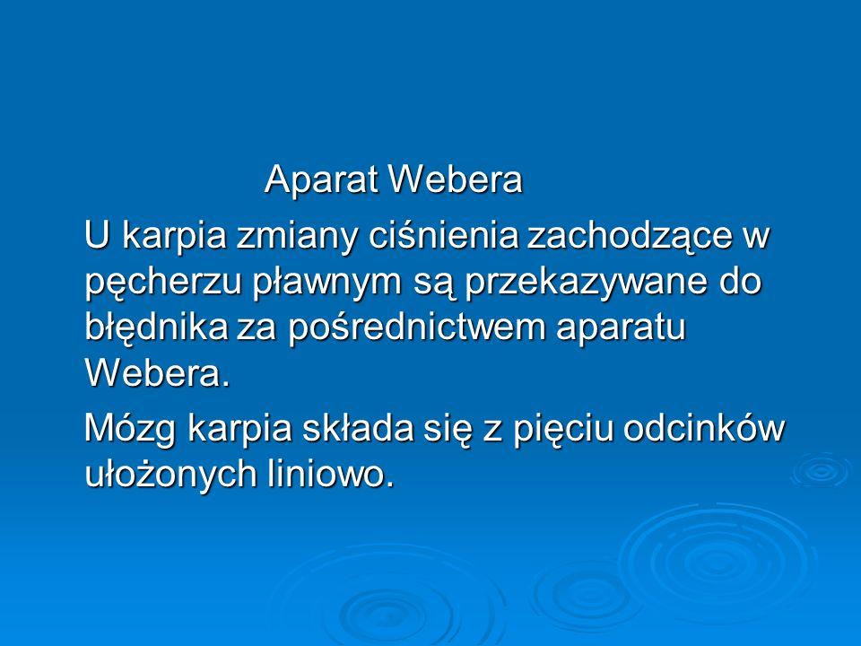 Aparat Webera Aparat Webera U karpia zmiany ciśnienia zachodzące w pęcherzu pławnym są przekazywane do błędnika za pośrednictwem aparatu Webera. U kar