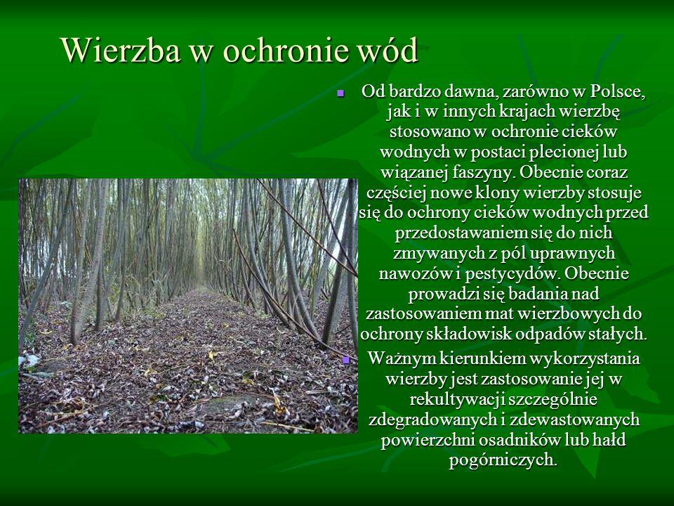 Wierzba w ochronie wód Od bardzo dawna, zarówno w Polsce, jak i w innych krajach wierzbę stosowano w ochronie cieków wodnych w postaci plecionej lub w