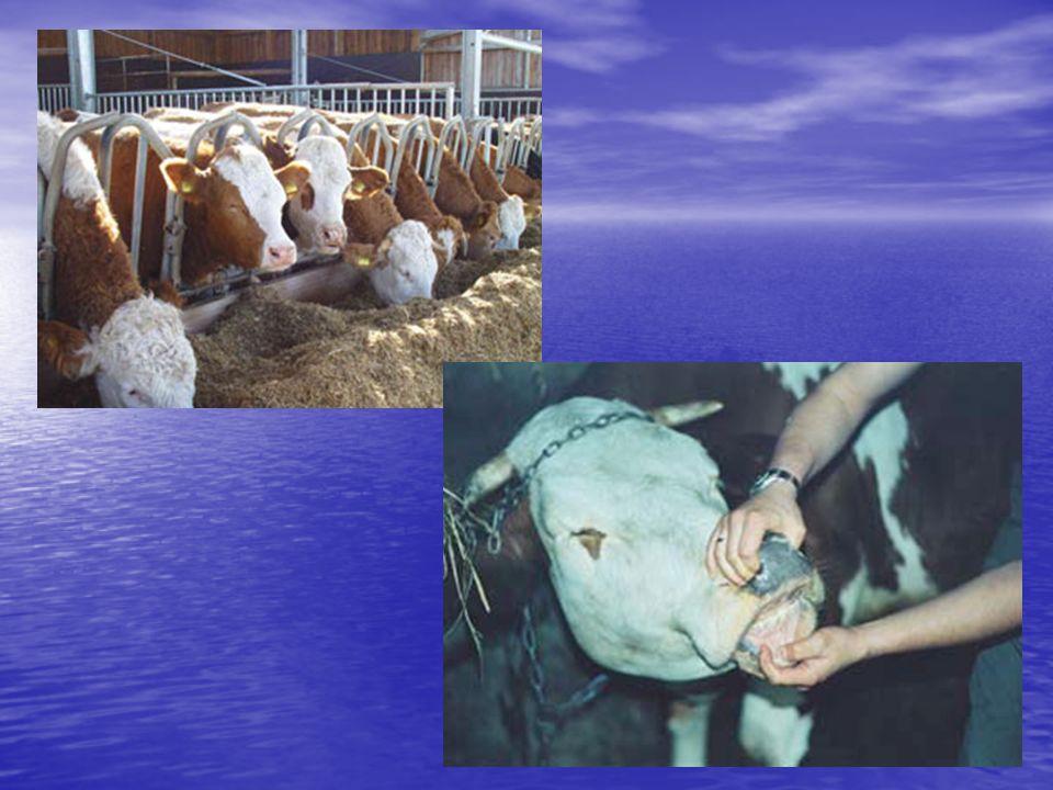 POSTĘPOWANIE Eliminacja ze stada zwierząt trwale zakażonych (siewców wirusa) Eliminacja ze stada zwierząt trwale zakażonych (siewców wirusa) Badanie zwierząt wprowadzanych do stada Badanie zwierząt wprowadzanych do stada Szczepienia szczepionką inaktywowaną zwierząt serologicznie ujemnych.