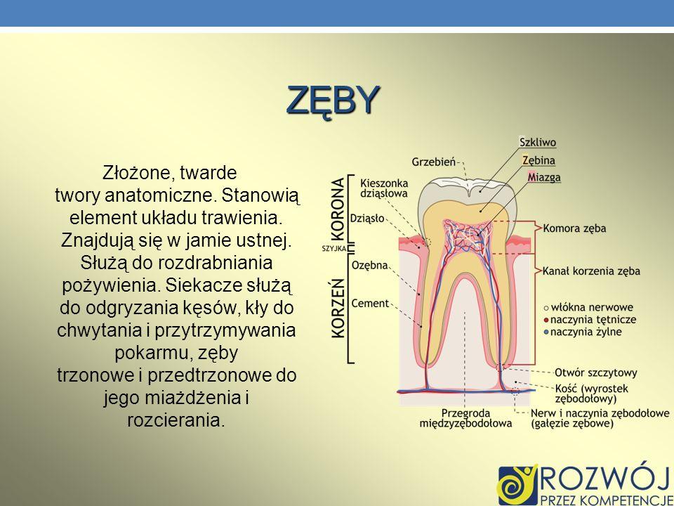 ZĘBY Złożone, twarde twory anatomiczne. Stanowią element układu trawienia. Znajdują się w jamie ustnej. Służą do rozdrabniania pożywienia. Siekacze sł