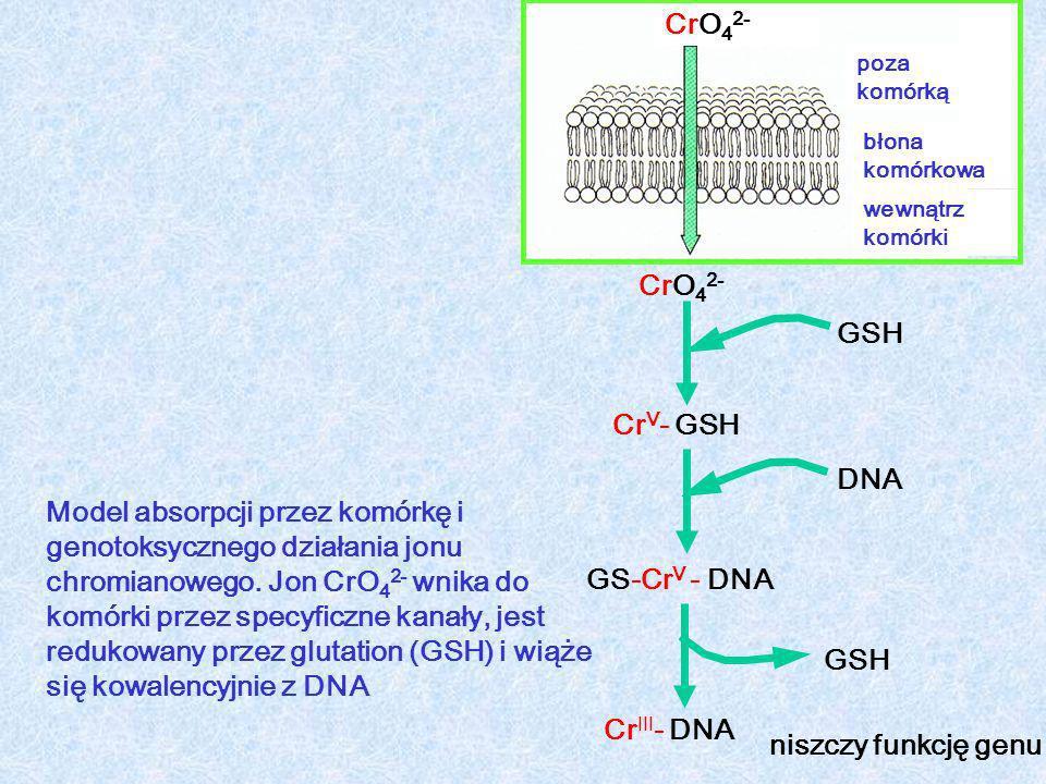 CrO 4 2- Cr V - GSH GS-Cr V - DNA Cr III - DNA CrO 4 2- poza komórką błona komórkowa wewnątrz komórki GSH DNA GSH niszczy funkcję genu Model absorpcji