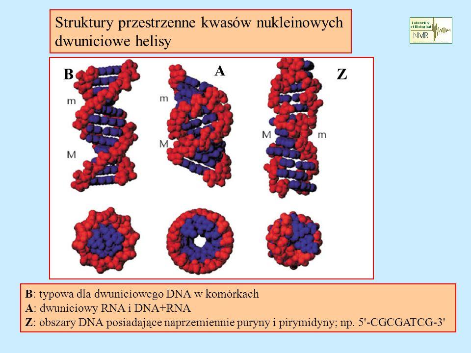 Struktury przestrzenne kwasów nukleinowych dwuniciowe helisy B A Z B: typowa dla dwuniciowego DNA w komórkach A: dwuniciowy RNA i DNA+RNA Z: obszary DNA posiadające naprzemiennie puryny i pirymidyny; np.