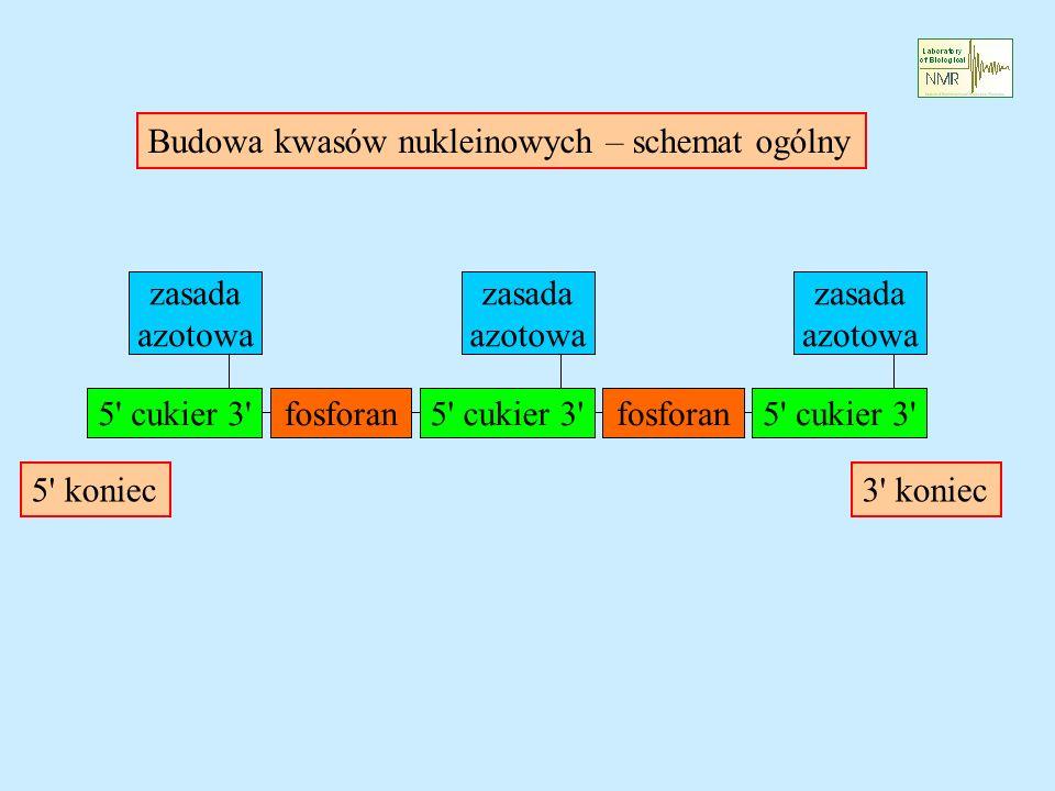 Budowa kwasów nukleinowych – schemat ogólny 5 cukier 3 fosforan5 cukier 3 fosforan5 cukier 3 zasada azotowa zasada azotowa zasada azotowa 5 koniec3 koniec