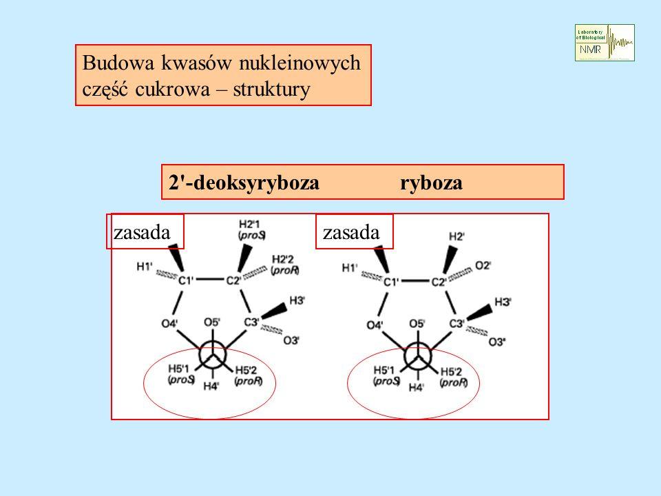 Budowa kwasów nukleinowych część cukrowa – struktury zasada 2 -deoksyryboza ryboza
