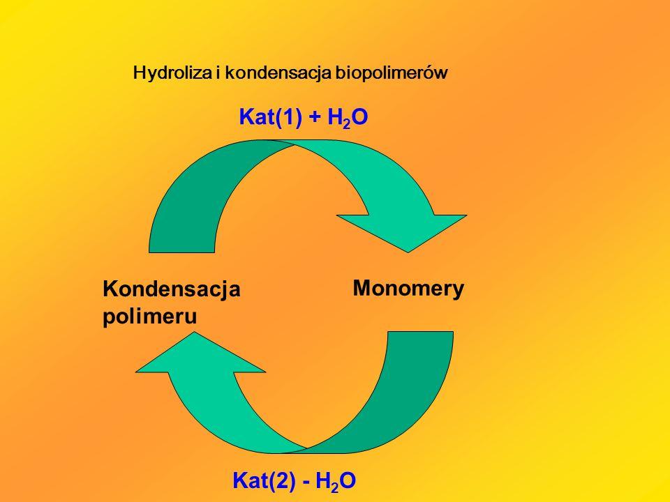 Kondensacja polimeru Monomery Kat(1) + H 2 O Kat(2) - H 2 O Hydroliza i kondensacja biopolimerów