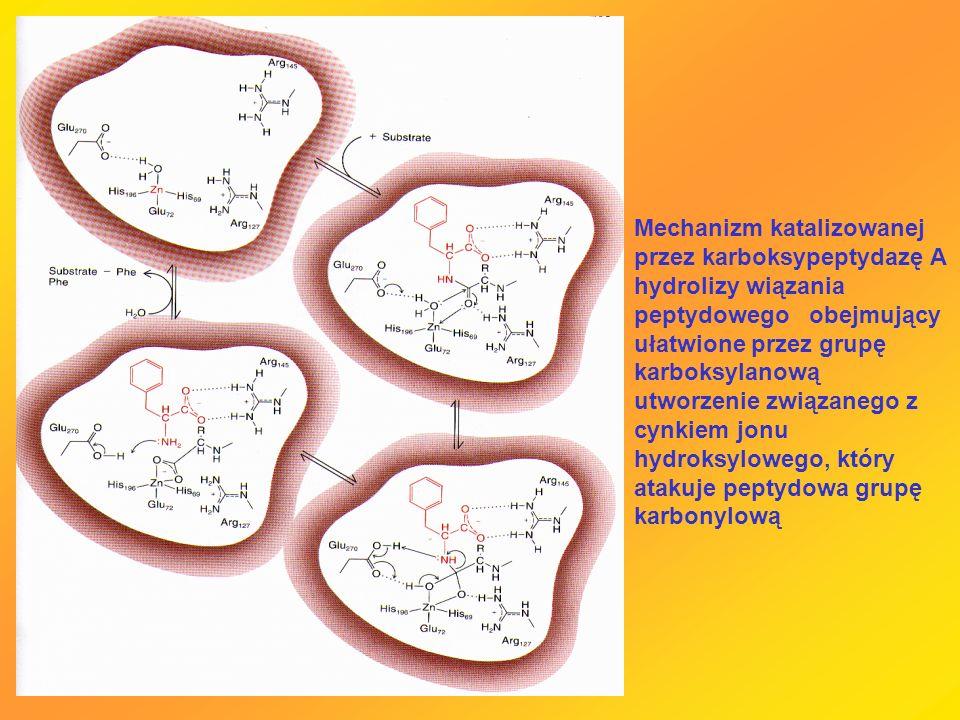 Mechanizm katalizowanej przez karboksypeptydazę A hydrolizy wiązania peptydowego obejmujący ułatwione przez grupę karboksylanową utworzenie związanego