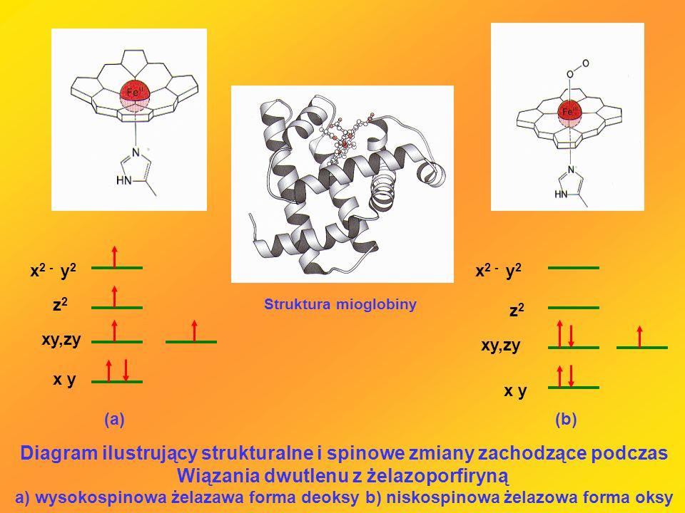x y xy,zy z2z2 x 2 - y 2 z2z2 xy,zy x y (a)(b) Diagram ilustrujący strukturalne i spinowe zmiany zachodzące podczas Wiązania dwutlenu z żelazoporfiryn