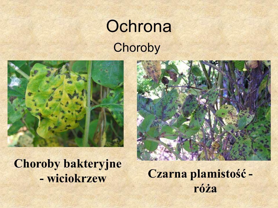 Ochrona Choroby Choroby bakteryjne - wiciokrzew Czarna plamistość - róża