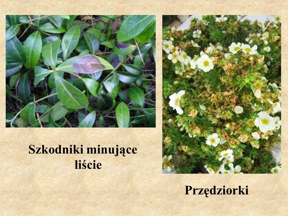Szkodniki obgryzające liście – Obnażacz różówka Wciornastki
