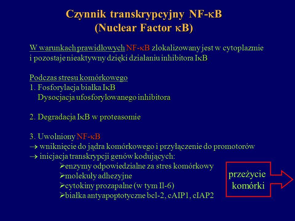 Czynnik transkrypcyjny NF- B (Nuclear Factor B) NF- B W warunkach prawidłowych NF- B zlokalizowany jest w cytoplazmie B i pozostaje nieaktywny dzięki