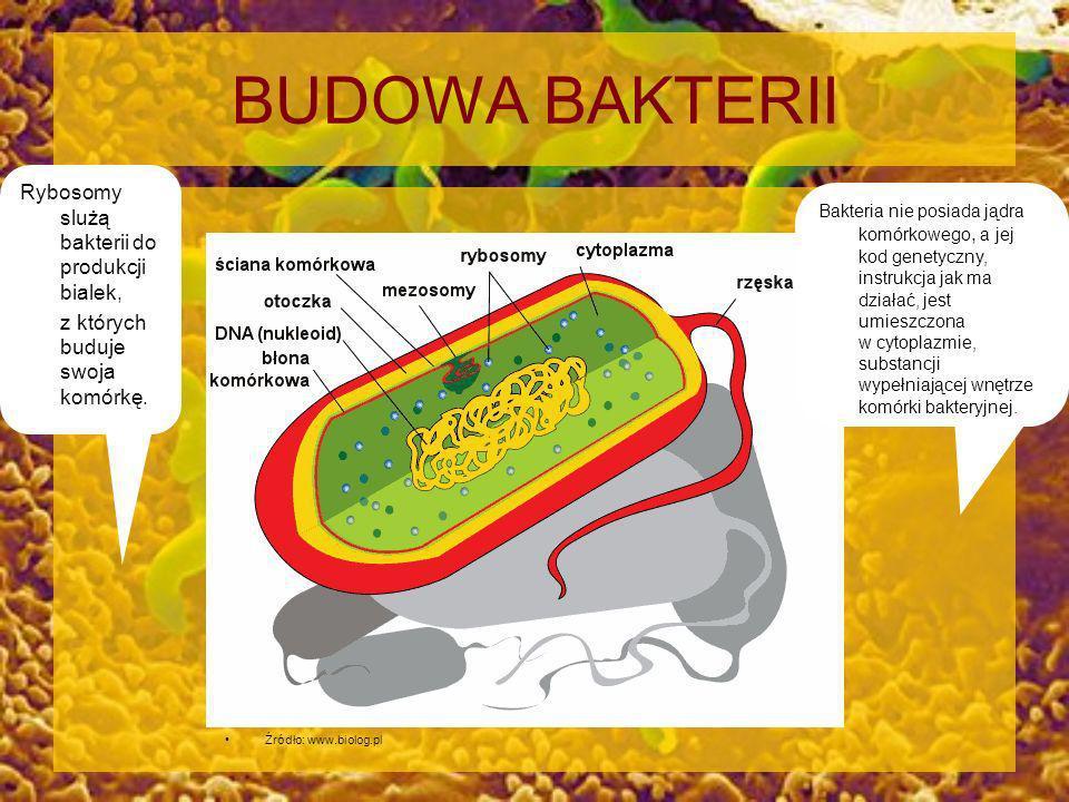 BUDOWA BAKTERII Źródło: www.biolog.pl Bakteria nie posiada jądra komórkowego, a jej kod genetyczny, instrukcja jak ma działać, jest umieszczona w cyto
