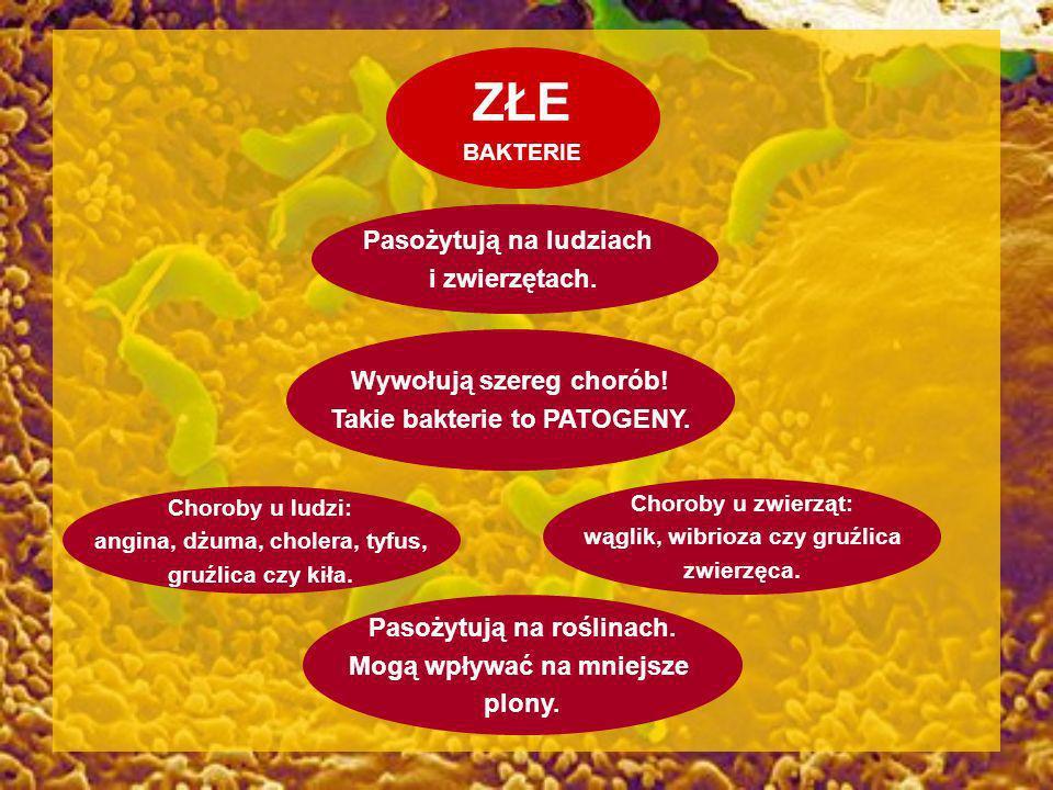 ZŁE BAKTERIE Wywołują szereg chorób! Takie bakterie to PATOGENY. Pasożytują na ludziach i zwierzętach. Choroby u ludzi: angina, dżuma, cholera, tyfus,