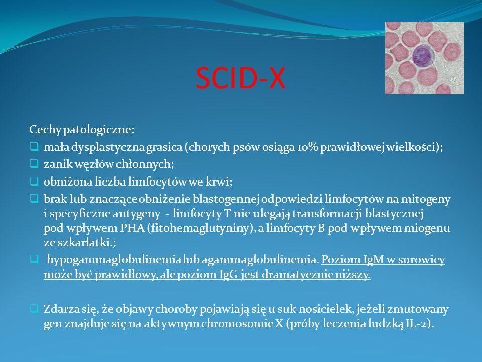 SCID-X Cechy patologiczne: mała dysplastyczna grasica (chorych psów osiąga 10% prawidłowej wielkości); zanik węzłów chłonnych; obniżona liczba limfocy