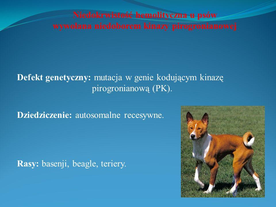 Niedokrwistość hemolityczna u psów wywołana niedoborem kinazy pirogronianowej Defekt genetyczny: mutacja w genie kodującym kinazę pirogronianową (PK).
