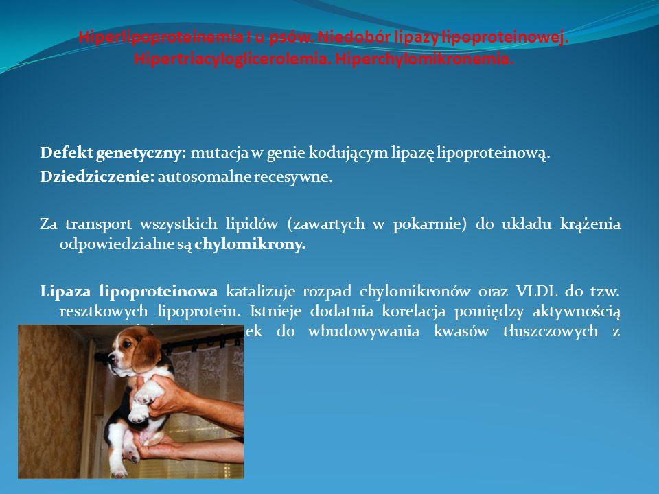 Hiperlipoproteinemia I u psów. Niedobór lipazy lipoproteinowej. Hipertriacyloglicerolemia. Hiperchylomikronemia. Defekt genetyczny: mutacja w genie ko