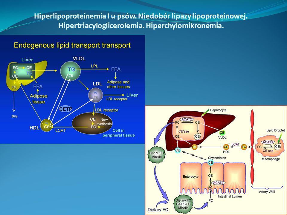 Hiperlipoproteinemia I u psów. Niedobór lipazy lipoproteinowej. Hipertriacyloglicerolemia. Hiperchylomikronemia.
