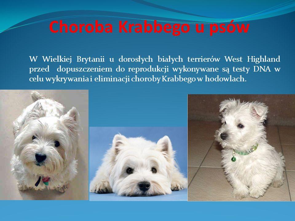 Choroba Krabbego u psów W Wielkiej Brytanii u dorosłych białych terrierów West Highland przed dopuszczeniem do reprodukcji wykonywane są testy DNA w c