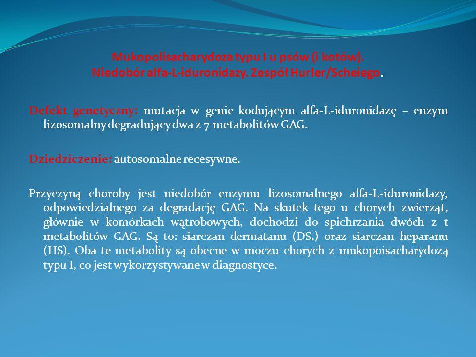 Mukopolisacharydoza typu I u psów (i kotów). Niedobór alfa-L-iduronidazy. Zespół Hurler/Scheiego. Defekt genetyczny: mutacja w genie kodującym alfa-L-