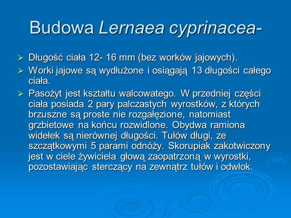 Budowa Lernaea cyprinacea- Długość ciała 12- 16 mm (bez worków jajowych). Długość ciała 12- 16 mm (bez worków jajowych). Worki jajowe są wydłużone i o