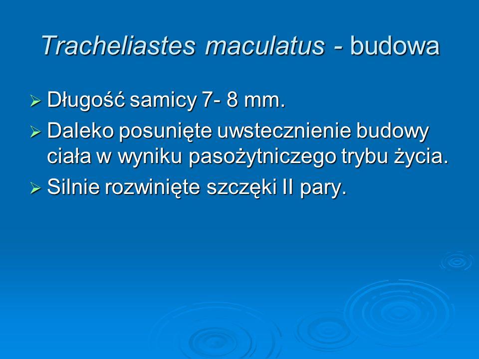 Tracheliastes maculatus - budowa Długość samicy 7- 8 mm. Długość samicy 7- 8 mm. Daleko posunięte uwstecznienie budowy ciała w wyniku pasożytniczego t
