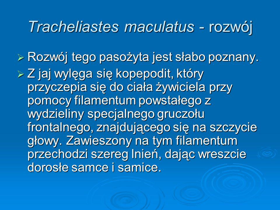 Tracheliastes maculatus - rozwój Rozwój tego pasożyta jest słabo poznany. Rozwój tego pasożyta jest słabo poznany. Z jaj wylęga się kopepodit, który p