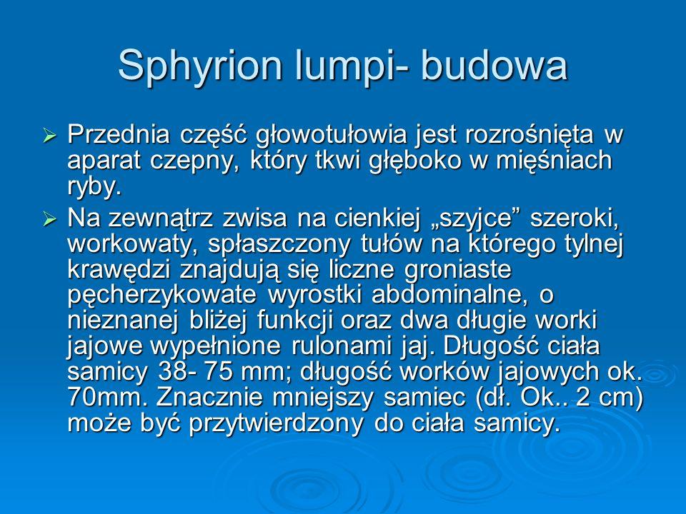 Sphyrion lumpi- budowa Przednia część głowotułowia jest rozrośnięta w aparat czepny, który tkwi głęboko w mięśniach ryby. Przednia część głowotułowia