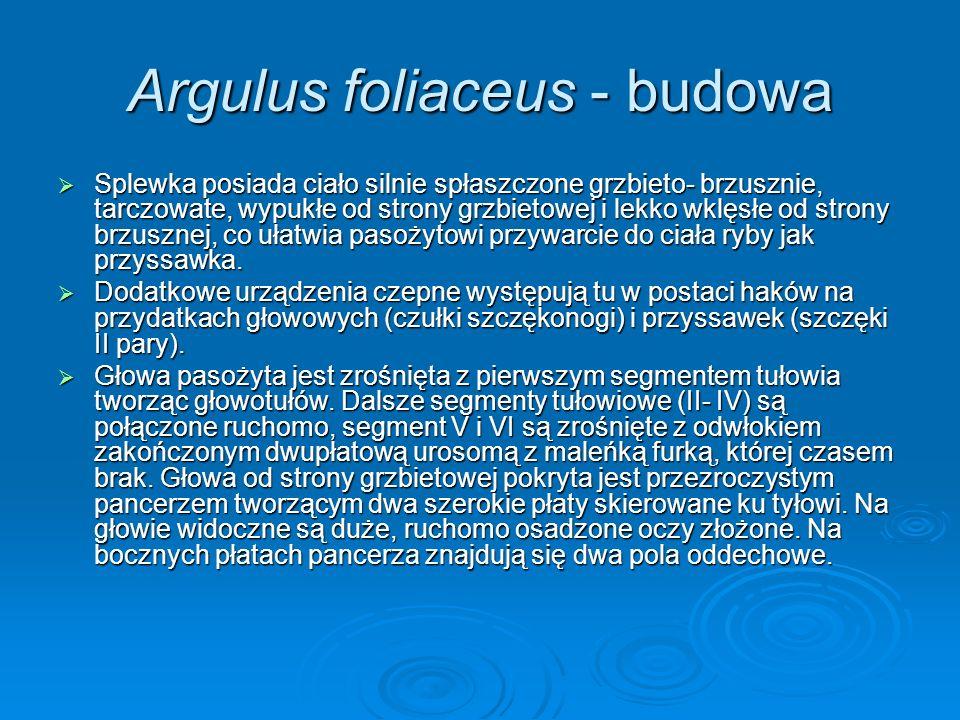 Argulus foliaceus - budowa Splewka posiada ciało silnie spłaszczone grzbieto- brzusznie, tarczowate, wypukłe od strony grzbietowej i lekko wklęsłe od