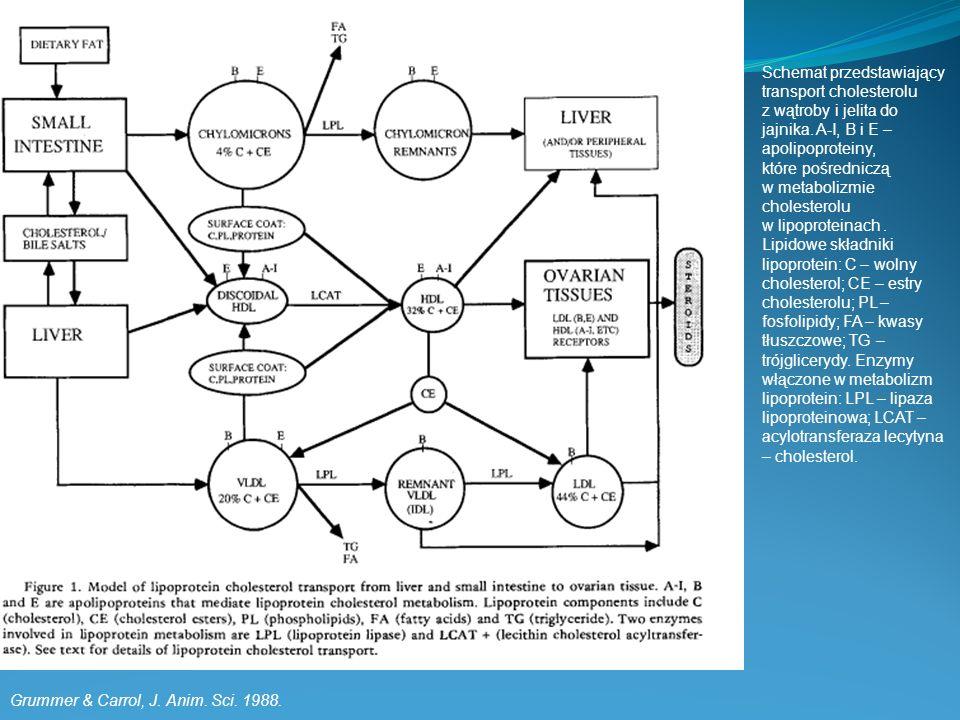 Grummer & Carrol, J. Anim. Sci. 1988. Schemat przedstawiający transport cholesterolu z wątroby i jelita do jajnika. A-I, B i E – apolipoproteiny, któr