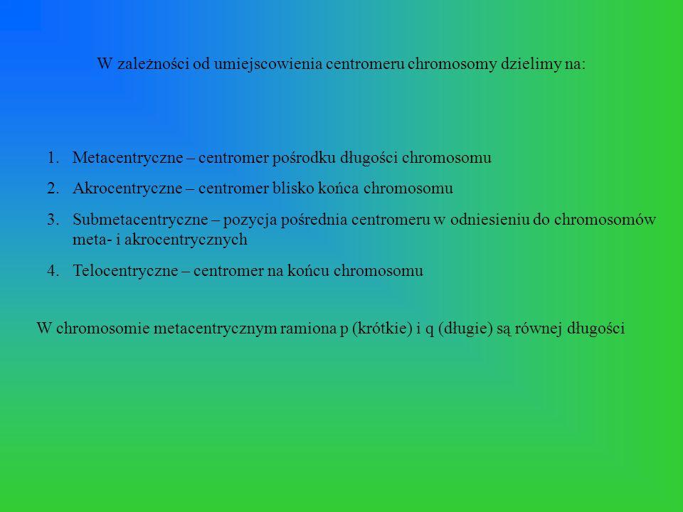 Chromosomy wyizolowane z oocytów świń - obraz spod mikroskopu odwróconego pola Oocyt - klasa IOocyt - klasa III Oocyt - klasa IV
