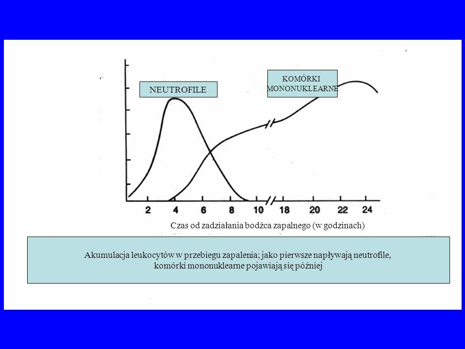 Akumulacja leukocytów w przebiegu zapalenia; jako pierwsze napływają neutrofile, komórki mononuklearne pojawiają się później Czas od zadziałania bodźc