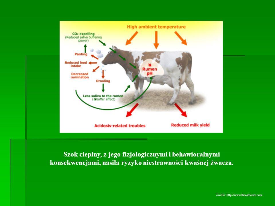 Szok cieplny, z jego fizjologicznymi i behawioralnymi konsekwencjami, nasila ryzyko niestrawności kwaśnej żwacza. Źródło: http://www.thecattlesite.com