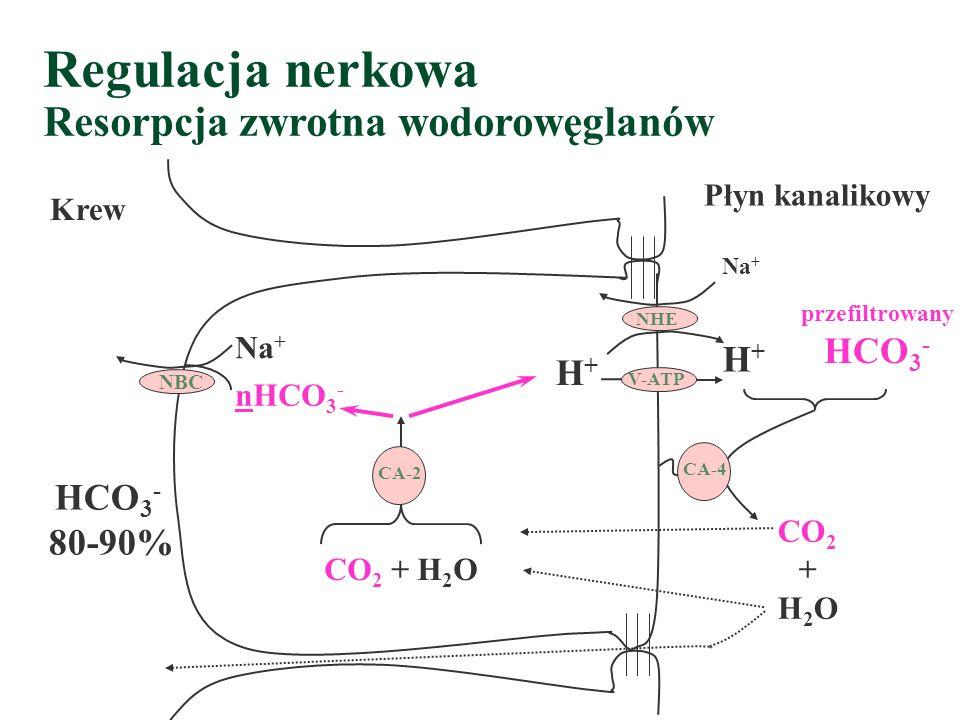 Regulacja nerkowa Resorpcja zwrotna wodorowęglanów NHE NBC Na + V-ATP H+H+ Krew Płyn kanalikowy przefiltrowany HCO 3 - CA-4 CO 2 + H 2 O CA-2 Na + nHCO 3 - H+H+ HCO 3 - 80-90%