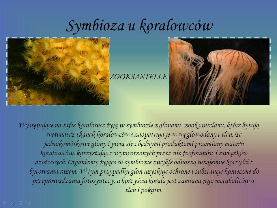 Symbioza u koralowców Występujące na rafie koralowce żyją w symbiozie z glonami- zooksanrelami, które bytują wewnątrz tkanek koralowców i zaopatrują j
