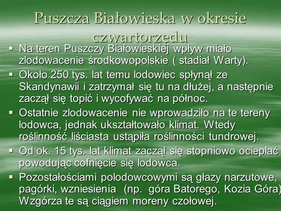 Puszcza Białowieska w okresie czwartorzędu Na teren Puszczy Białowieskiej wpływ miało zlodowacenie środkowopolskie ( stadiał Warty). Na teren Puszczy