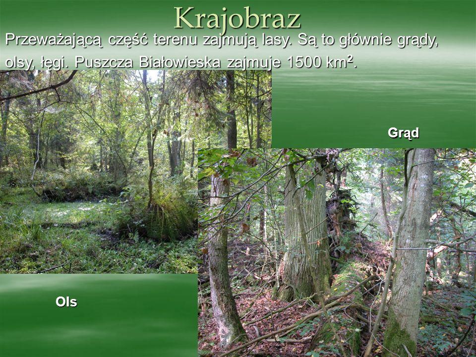 OIs Przeważającą część terenu zajmują lasy. Są to głównie grądy, olsy, łęgi. Puszcza Białowieska zajmuje 1500 km 2. Krajobraz Grąd